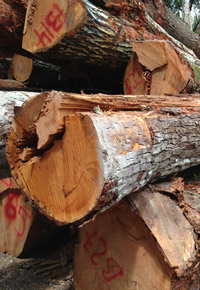 Genuine Mahogany logs
